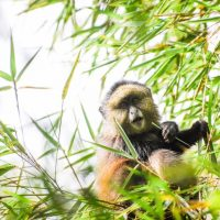 Saving Golden Monkeys: Conservation Action Plan Work Begins