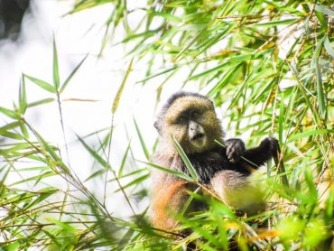 Saving Golden Monkeys: Conservation Action Plan Work Begins