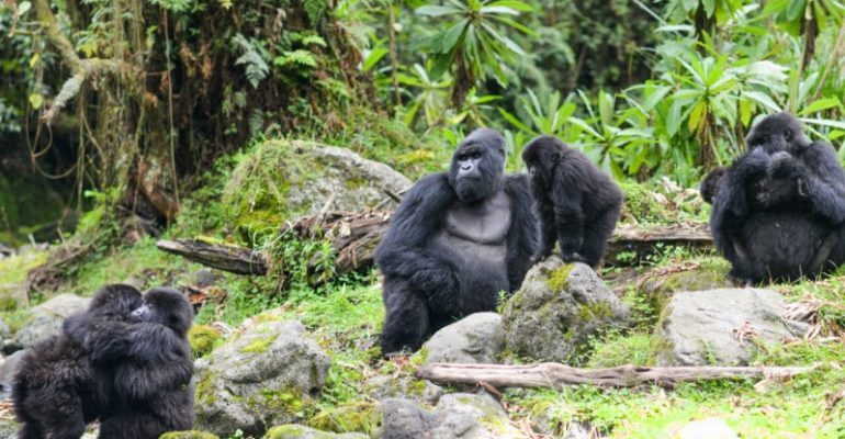 Virunga Massifs: Driving Gorilla Conservation Forward