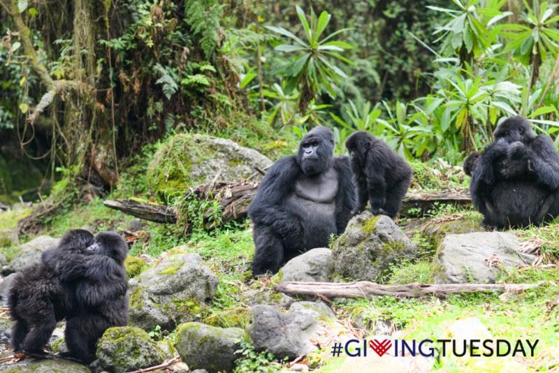 Saving Mountain Gorillas in Africa