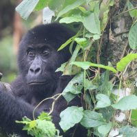 VIRUNGA GORILLA NEWS: Fasha Saved from a Snare