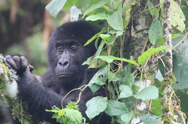 New Gorilla Group Discovered in Democratic Republic of Congo