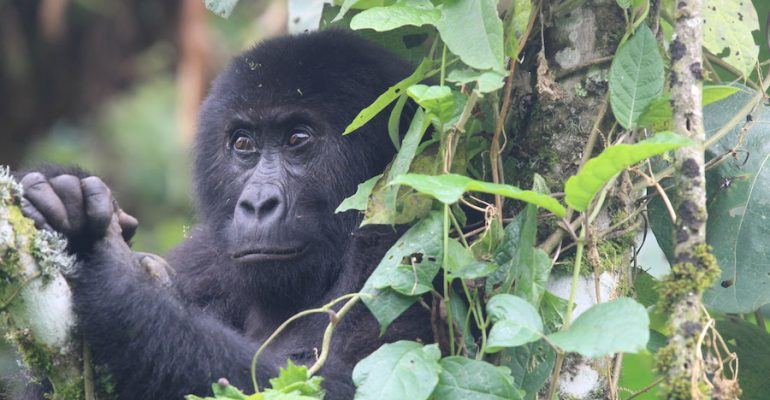 Virunga National Park Reopens for Tourism 2019