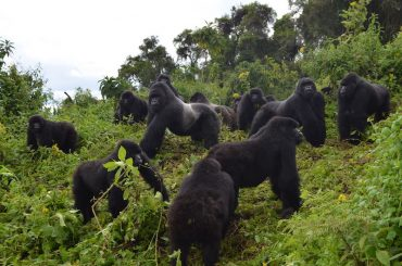 BREAKING: Mountain Gorilla Status Increase