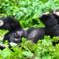Remembering Mountain Gorillas in Virunga Regions 2018